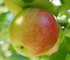 Fruitière à pépins